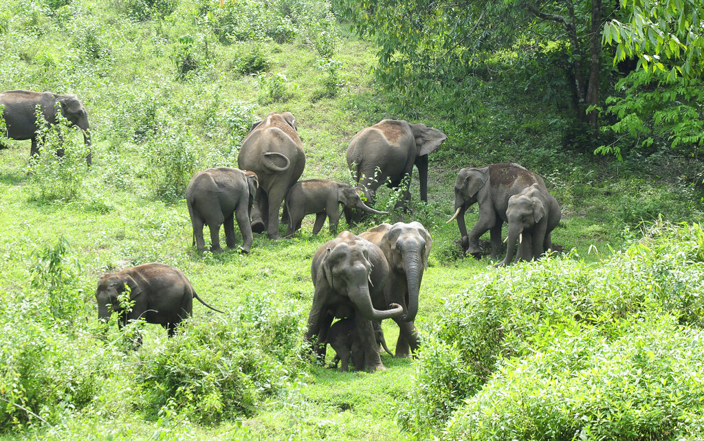In this Thursday, April 23 photo, a herd of wild elephants graze near a road in Malakkappara, Thrissur district, in the southern Indian state of Kerala. Vehicular traffic through this road has almost ceased because of the ongoing lockdown and wild elephants have appeared close to human habitat.