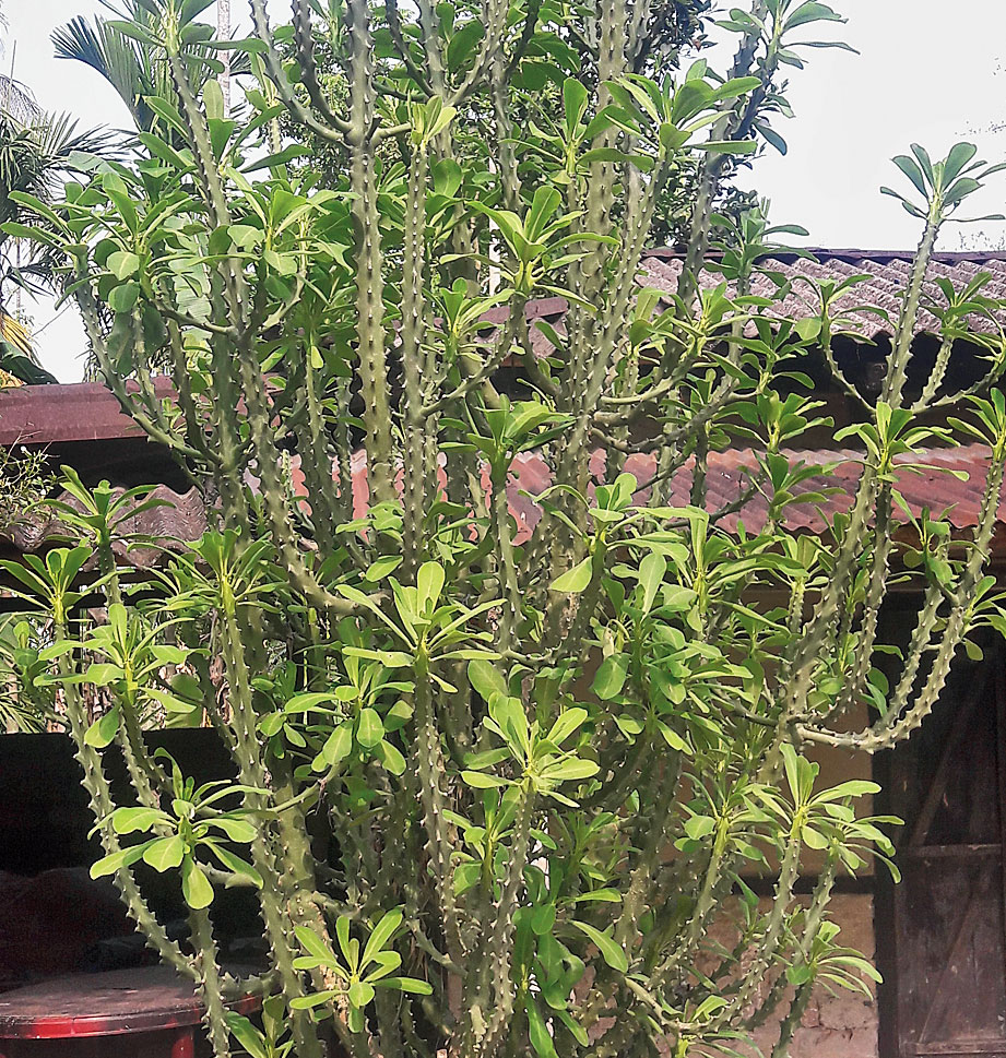 A sijou tree symbolises the Bwrai Bathou which is worshipped by the followers of the Bathou religion.