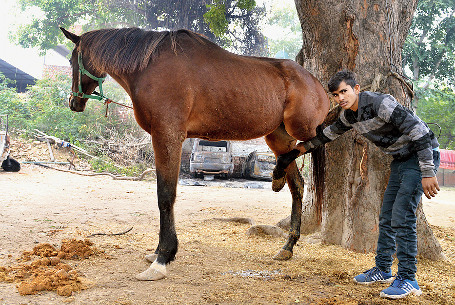 Bharat Ram shows a horse inside the stable at the farmhouse that was allegedly assaulted and left with an injured leg