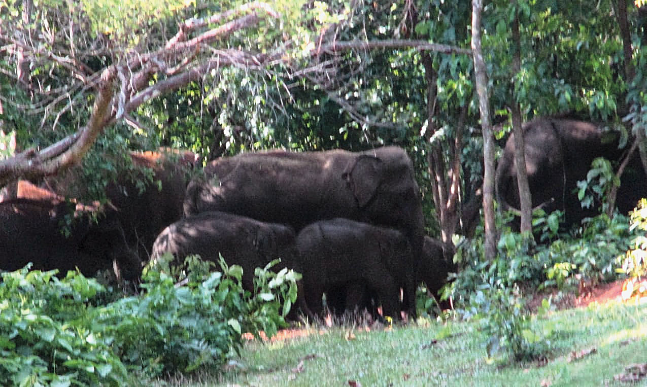 Elephants at Dalma sanctuary.