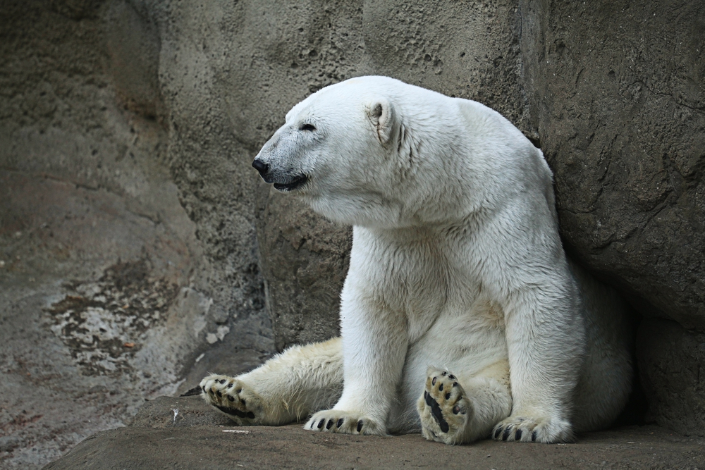 The WWF said 56 polar bears had gathered in a one-sq-km area near the village of Ryrkaipy in Chukotka on the northeastern tip of Russia.
