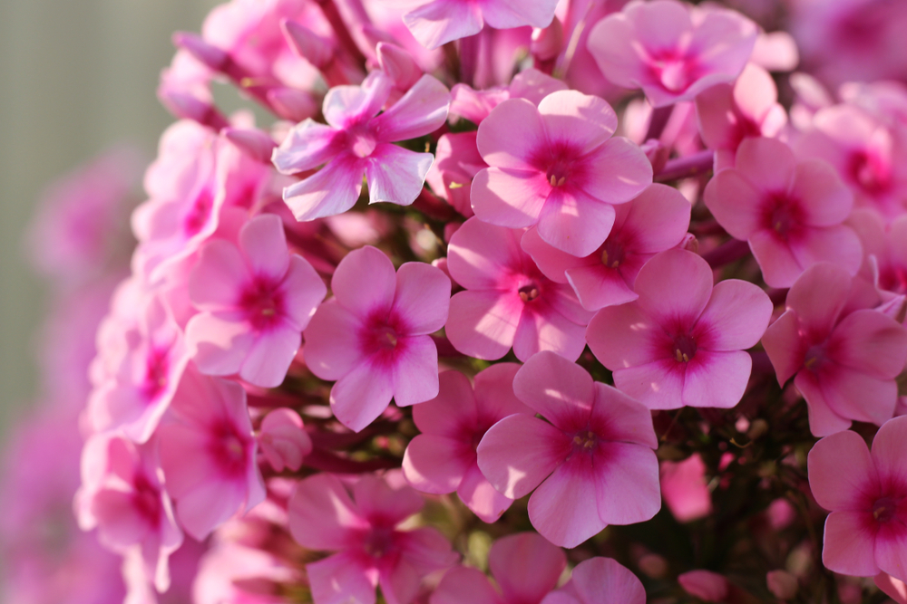 Phlox:  One of the most well-known annuals grown for their brilliant display and long-lasting blooming period. Flowers are delicately scented, with a wide range of colours and many are with contrasting 'eyes'.