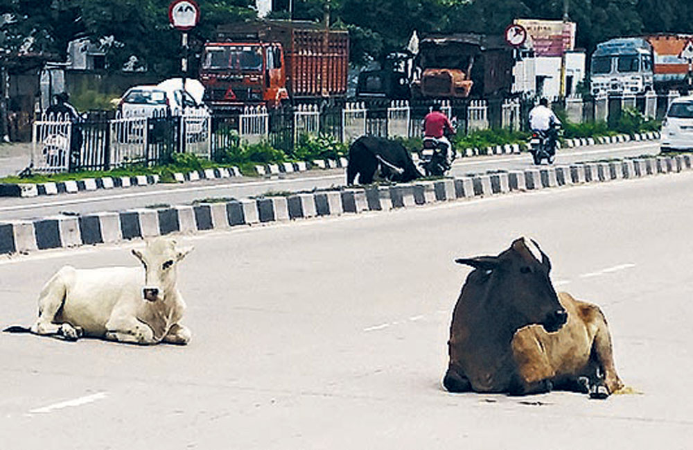 Cows relaxing on NH 28 between Gorakhpur and Lucknow