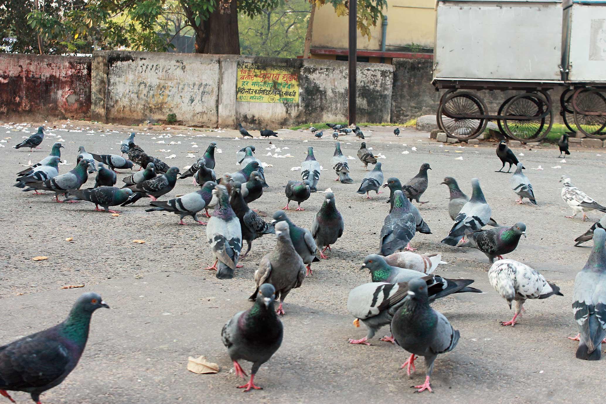 Pigeons gather in Bistupur, Jamshedpur, on Wednesday.