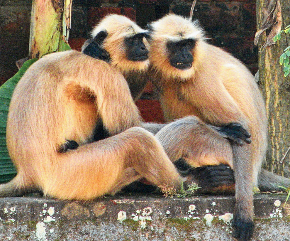 Representational image: Currently, there are over 25,000 monkeys in Agra.