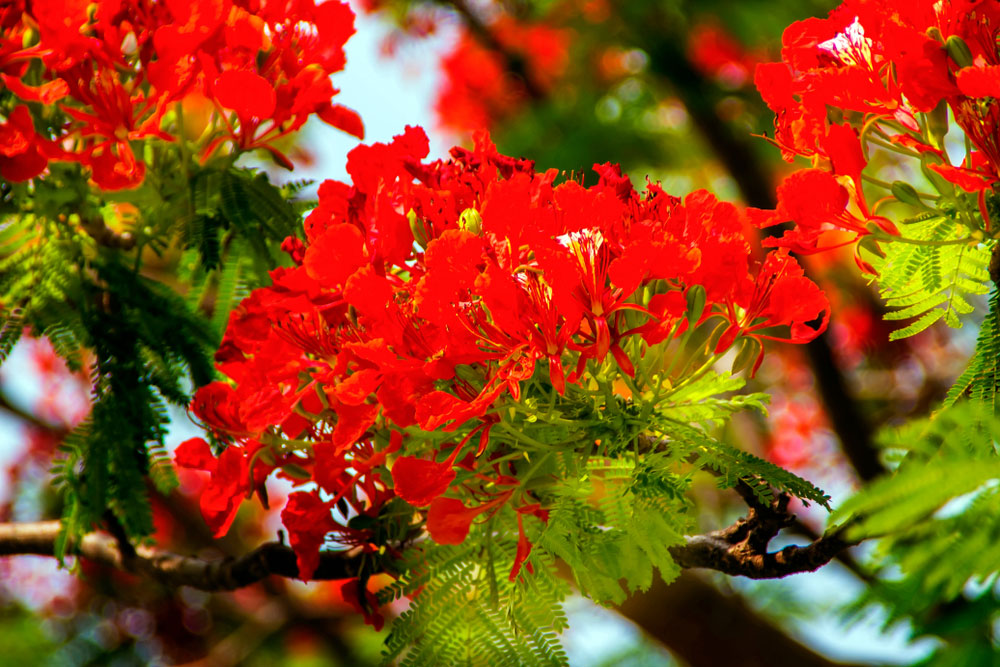 Rudra Palash flowers are usually cup-shaped, making them attractive to birds and bees