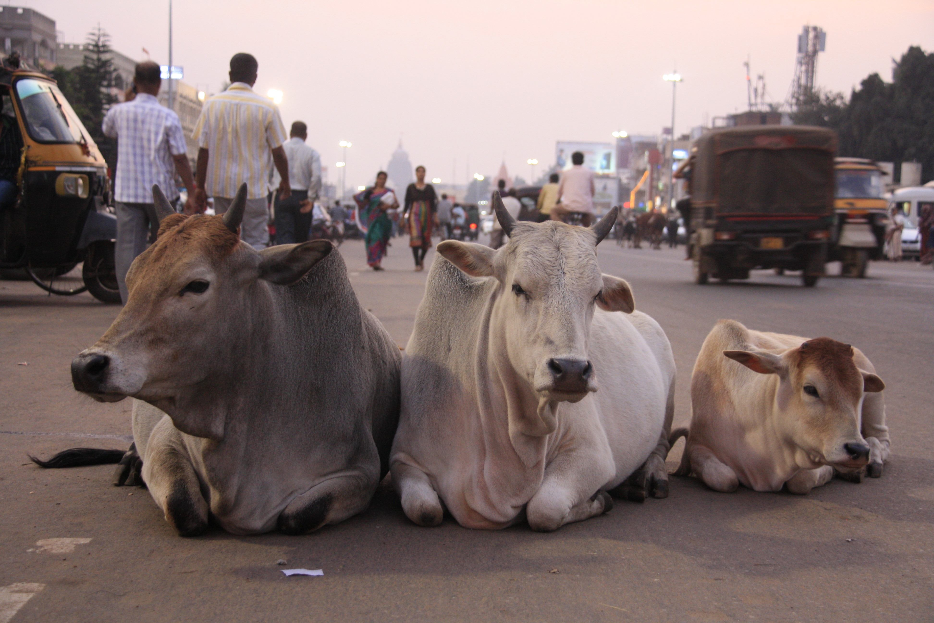 Human and animal lives are suffering due to cow protection