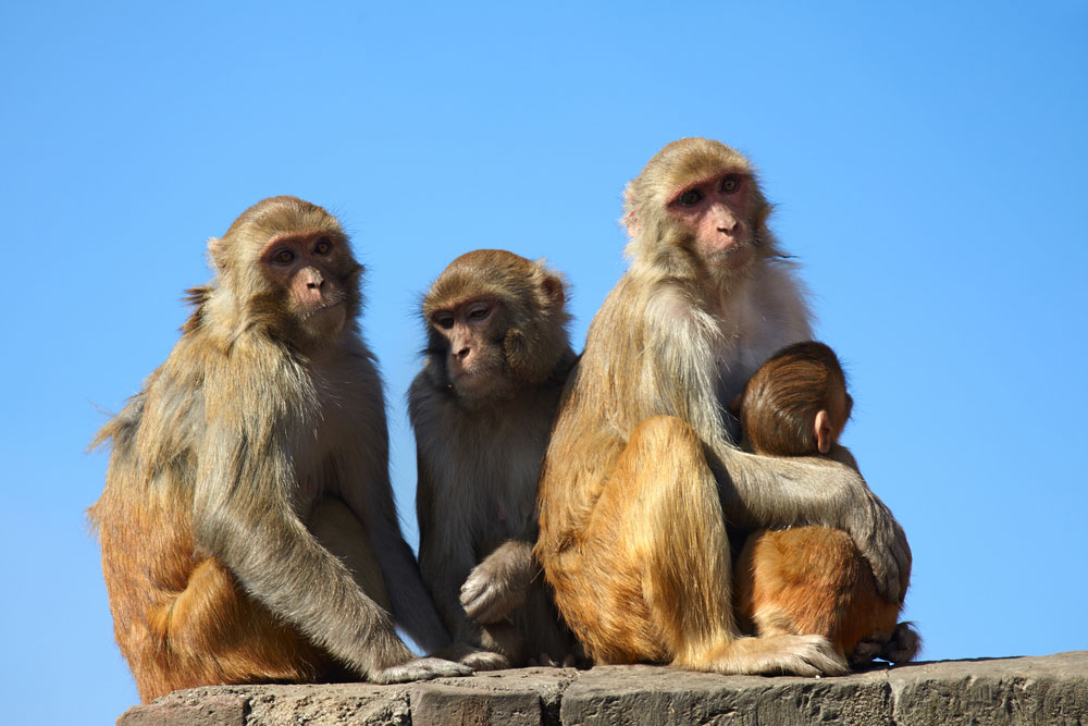 Autopsy revealed that the monkeys died of multi-organ failure following hyper-thermia (extremely high body temperature).