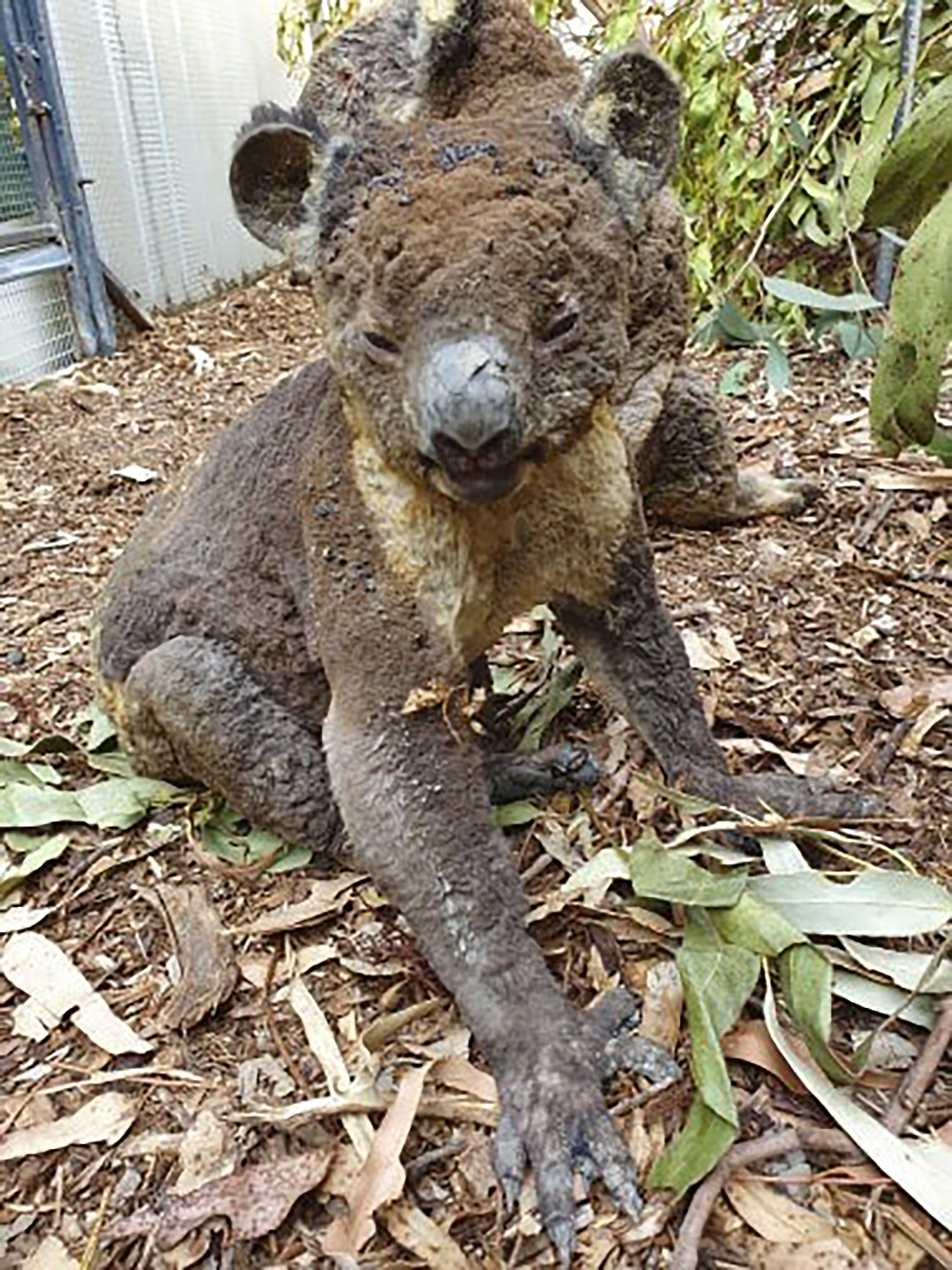 This photo taken in early January, 2020 shows a rescued koala injured in a bushfire in Kangaroo Island, South Australia