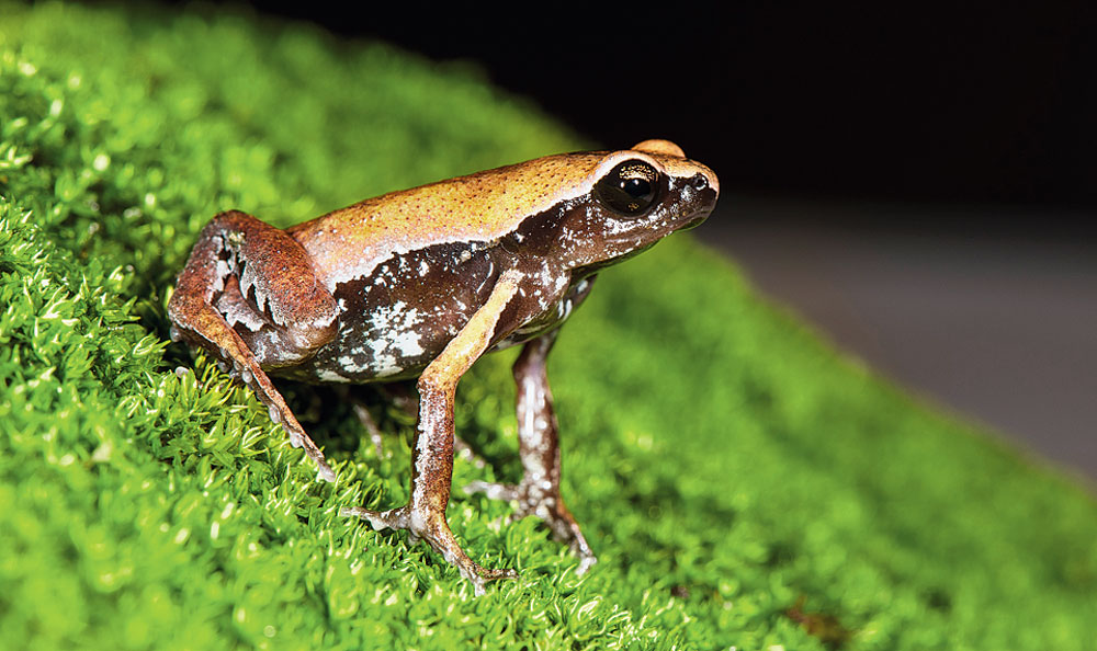New frog found in Wayanad