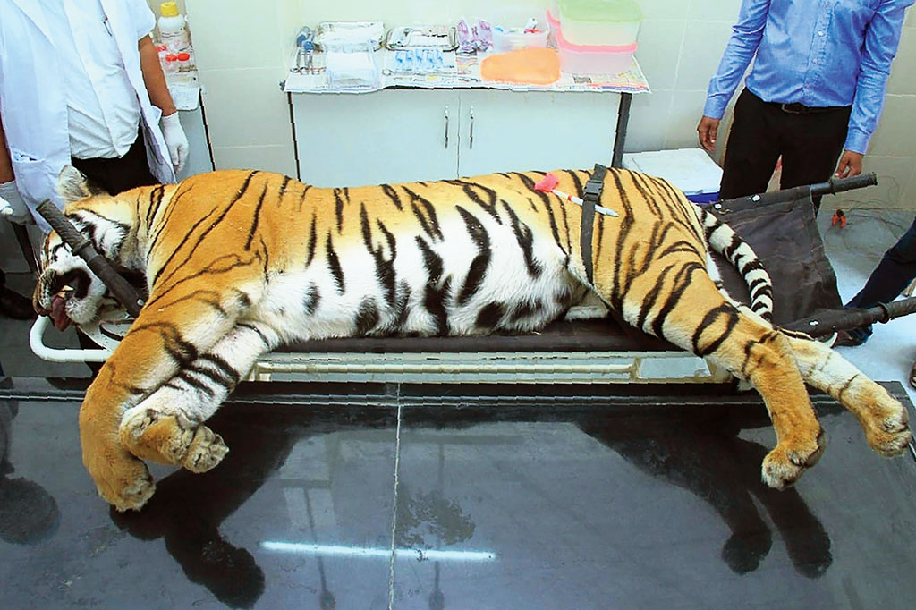 Tigress killed as last resort: Forest minister