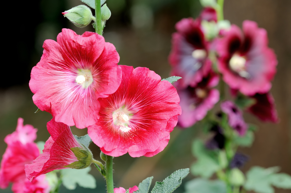 Hollyhock:  This is a tall majestic annual. The large flowers are born in the axis of leaves all along the length of the stem. Hollyhocks can be used as a background plant, screen, open space shrubbery or annual border. They need an open space as they can cross 6feet in height. They are eye-catching and when well-maintained, make you proud and neighbours envious.