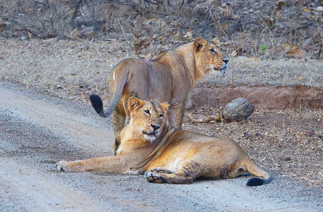A pair of lions at the Gir National Park
