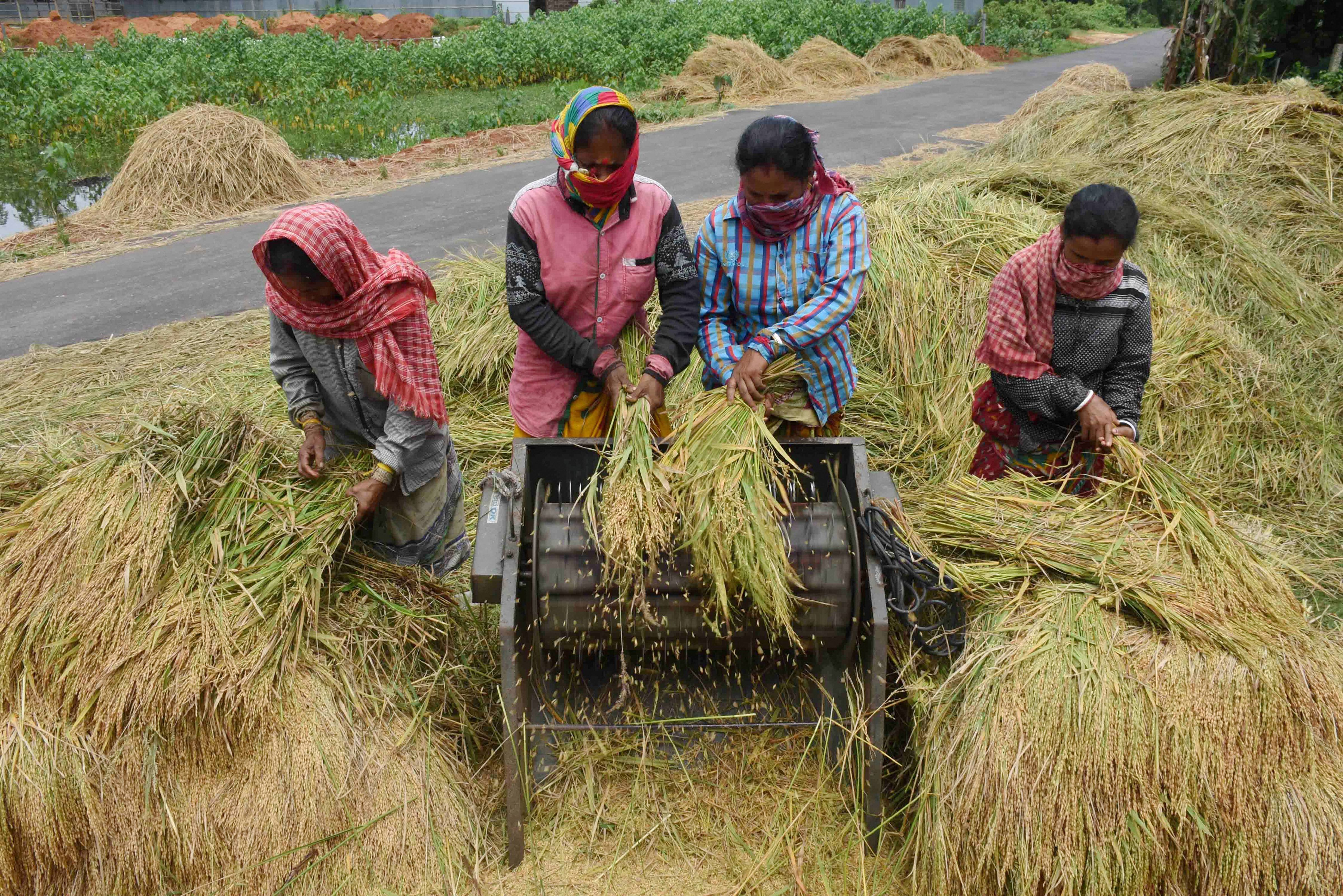 Farmers thrashing harvested crops at a field, during the ongoing Covid-19 lockdown, near Agartala, Saturday, May 30, 2020.