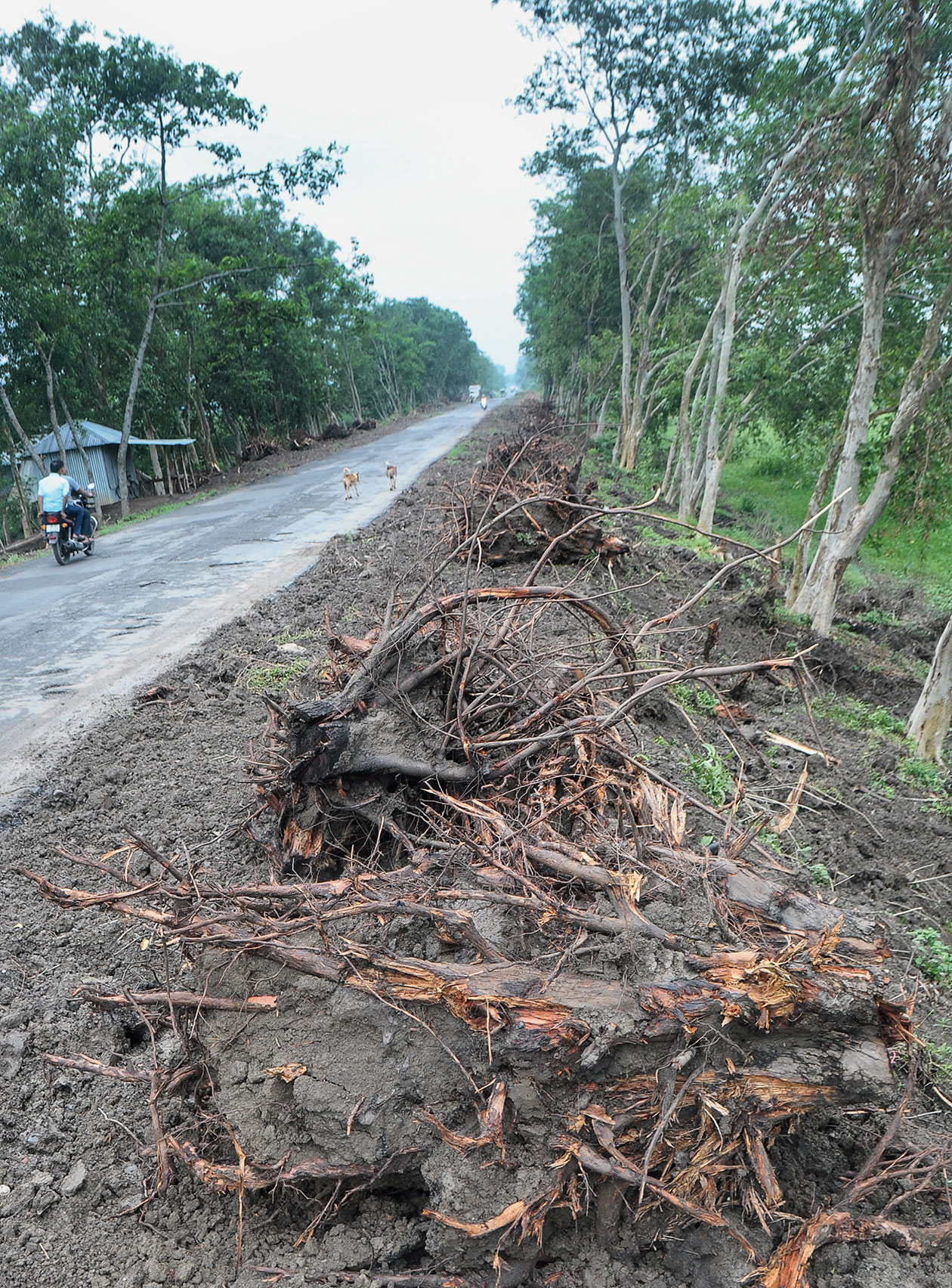 Some of the trees felled along the highway.