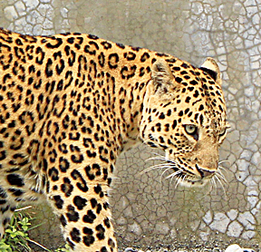A leopard at the Bengal Safari Park.