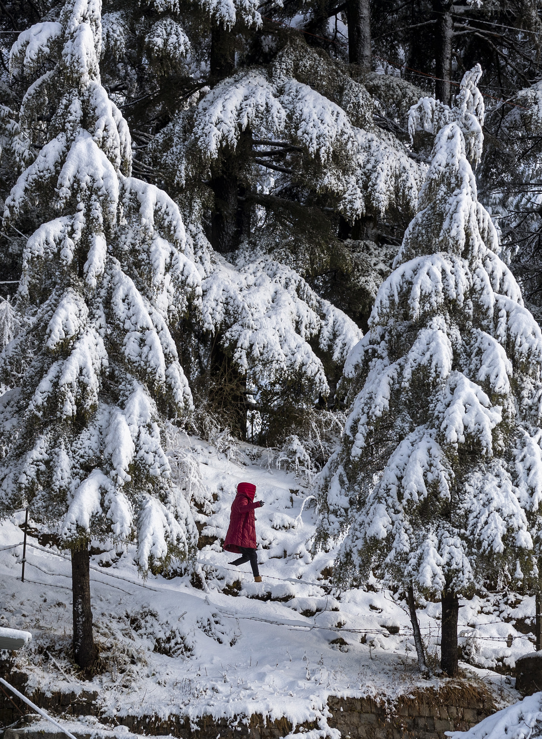A woman walks on a mountain path flanked by Himalayan cedars covered in fresh snow in Dharmsala, India, Wednesday