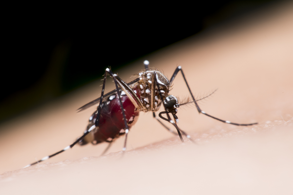 Aedes Aegypti is a type of mosquito that spreads chikungunya and dengue