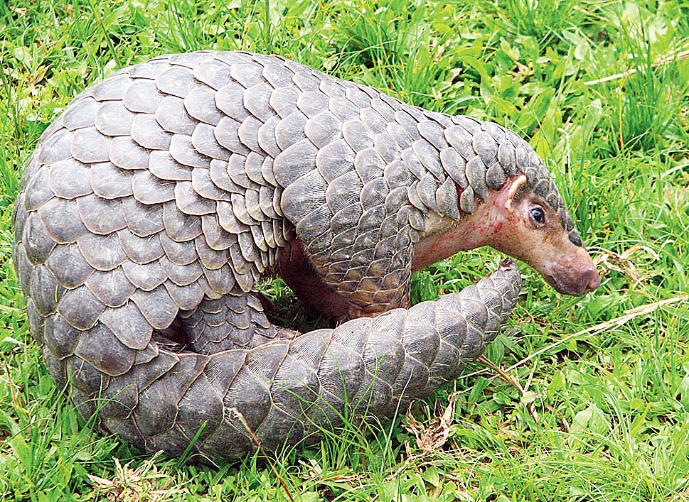 The pangolin is a shy, harmless mammal hunted for its meat and scales, with the latter mainly being used in traditional Chinese medicine although no scientific research proves that they have medicinal value.