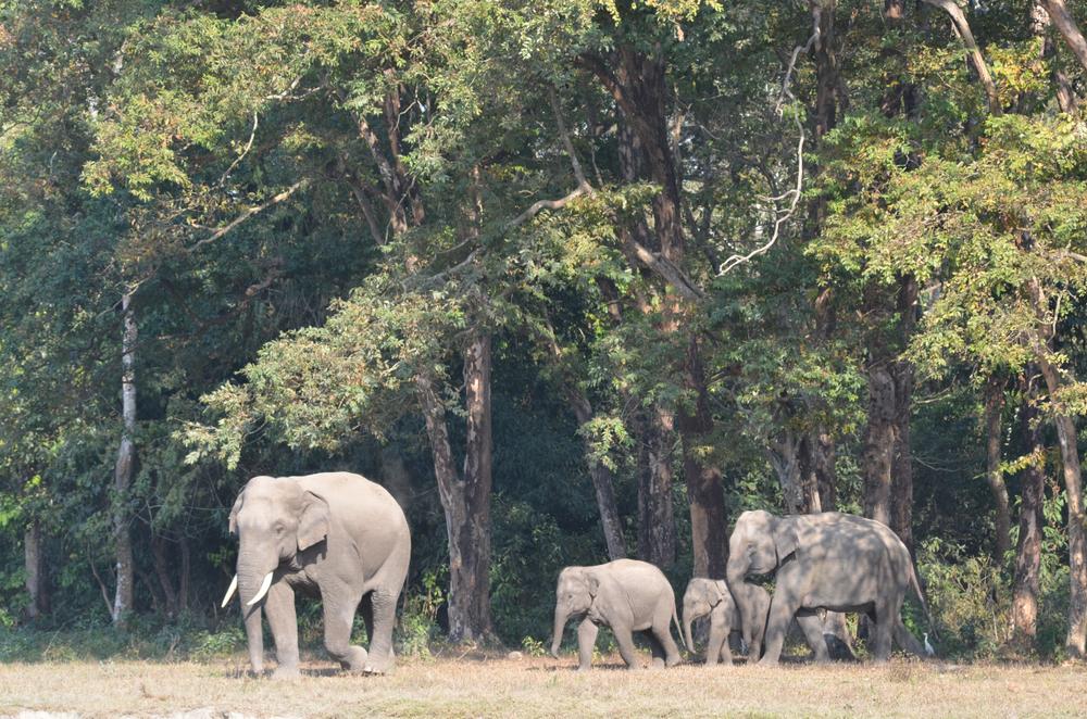Elephants at Jaldapara National Park