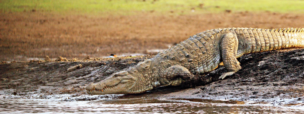 A crocodile slides noiselessly into the water