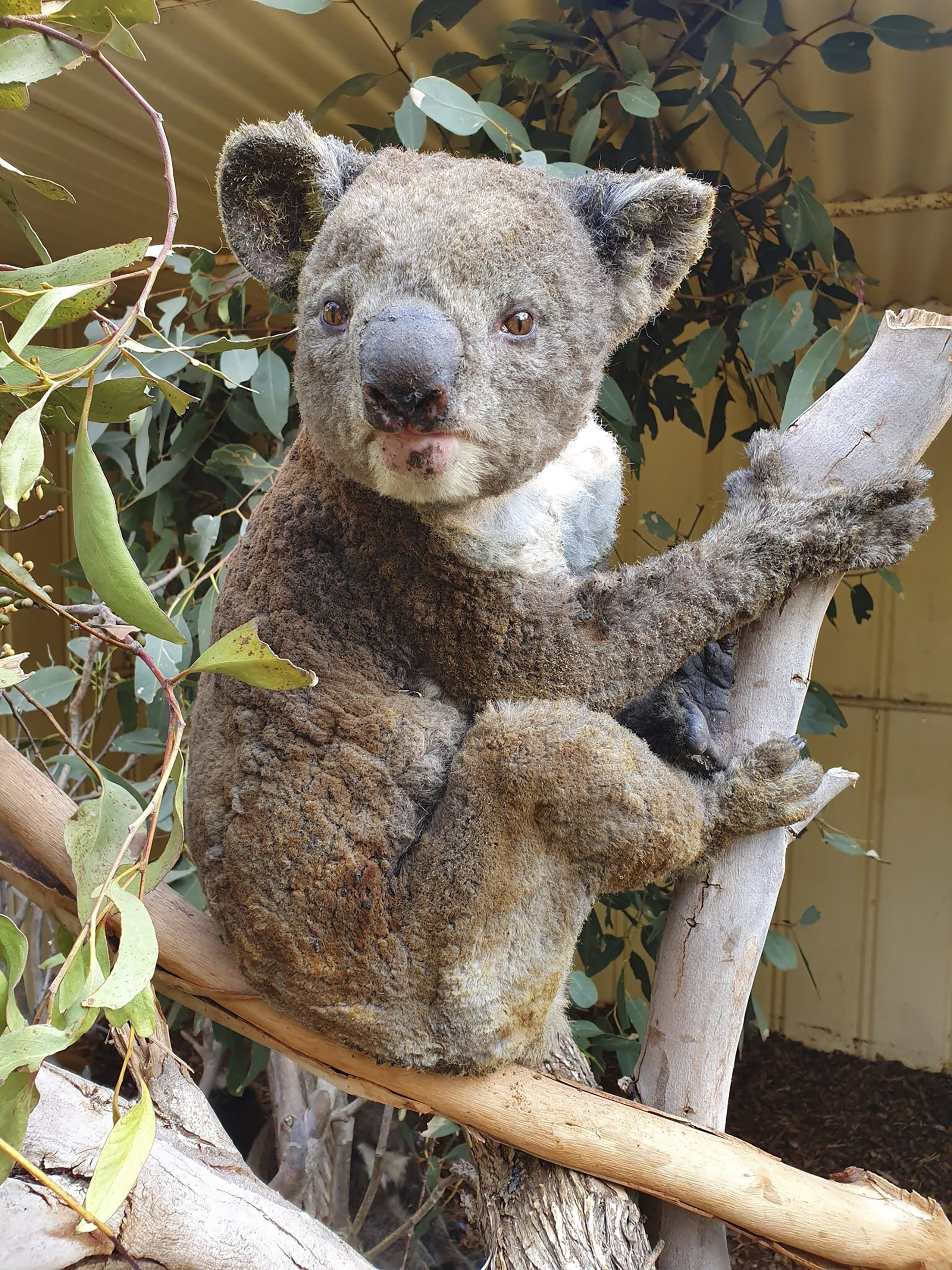 This photo taken in early January, 2020, and provided Sunday, January 5, 2020, by Dana Mitchell from the Kangaroo Island Wildlife Park shows a rescued koala injured in a bushfire in Kangaroo Island, South Australia.