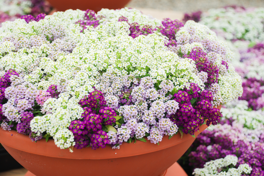 Alyssum  These low-growing plants that branch freely with usually white honey-scented flowers are compact and look like a carpet of flowers. Low trays on side tables add a nice touch and style statement. My personal preference is to have them on a bedroom corner or beside your dressing table.