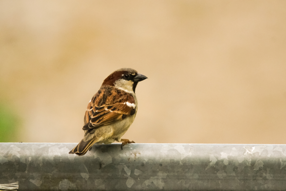 Gone are the days when a sparrow flying into the house sent its residents rushing to switch off fans to avoid injuring the bird
