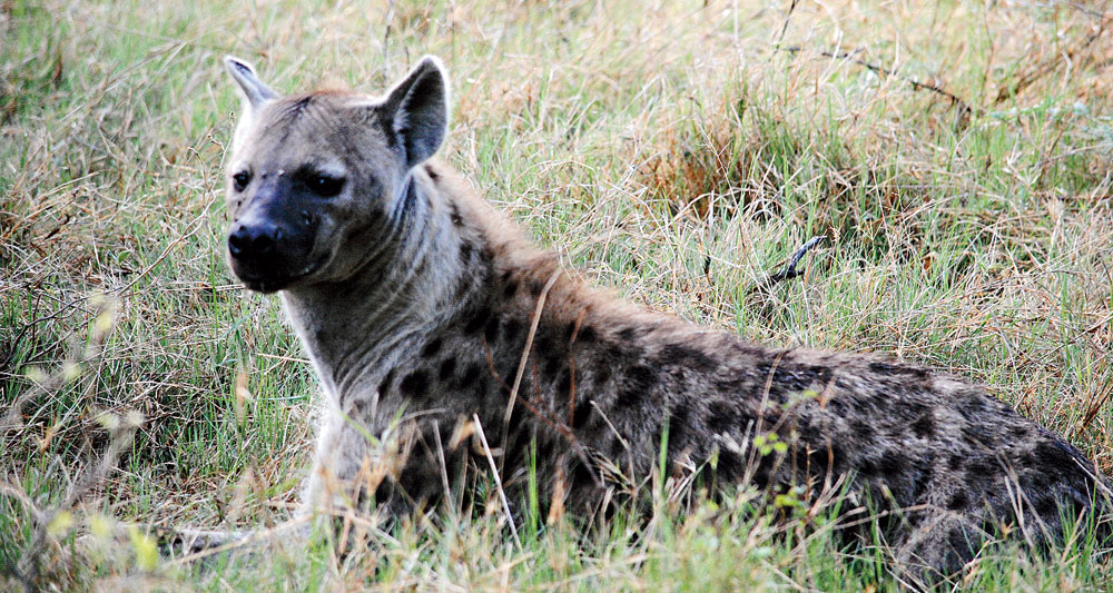A hyena resting after a meal