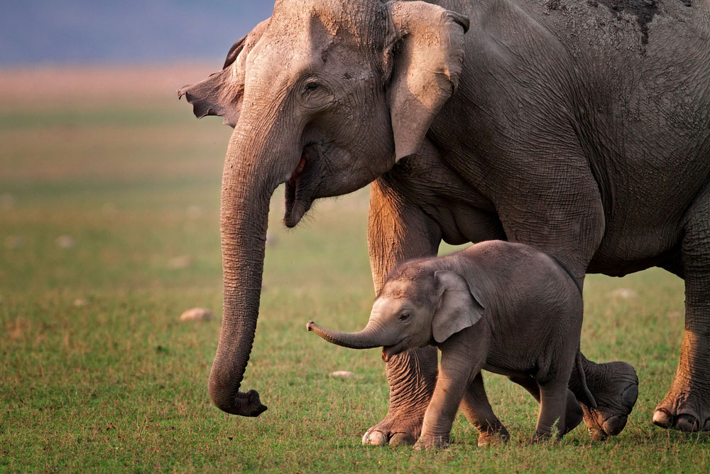 India's proposal for the concerted actions on the Asian elephant is intended to address barriers to the natural migration of elephants, protect the animals and their habitats, regulate human-elephant conflicts and curb the illegal trade in elephant parts.