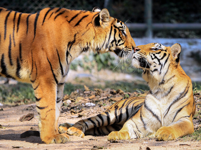 A pair of Royal Bengal tigers soak the sun on a cold winter afternoon at Tata Steel Zoological Park (TSZP) in Jamshedpur
