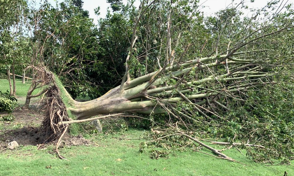 A fallen tree in Eco Park after the cyclone