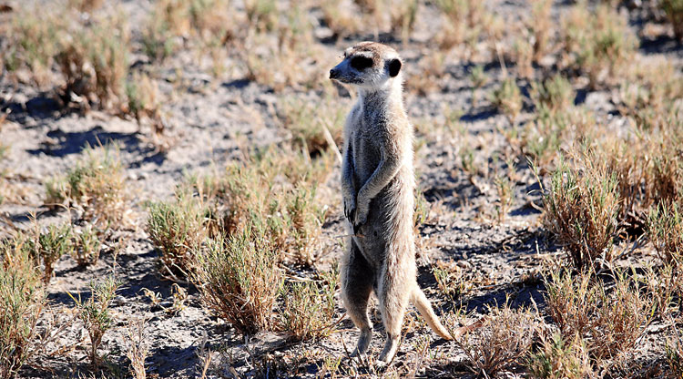 The meerkat is a very curious-looking creature, found easily in Kalahari