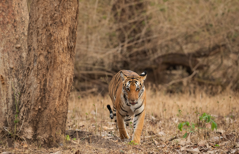 Tiger at Kabini, Nagarhole Tiger Reserve, Karnataka. India's largest wine brand, Sula Vineyards, is now involved in tiger conservation