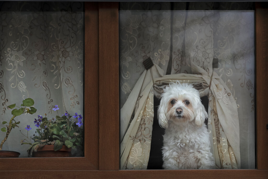 A dog presses its nose against a window while watching passers by in Bucharest, Romania, Sunday, Dec. 8, 2019.
