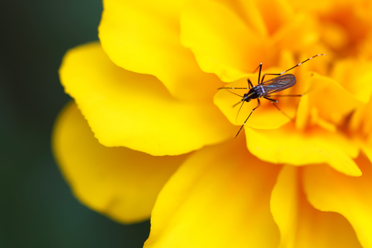 Many breeds of the mosquito — and all males of the species — have nothing to do with drinking blood. But they do play an important role in key ecological processes — pollination is just one of these