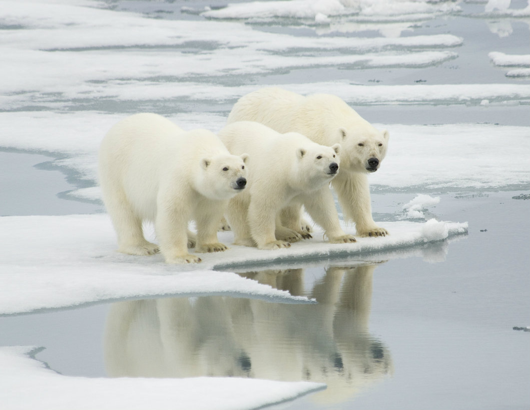 Hide the children, the polar bears have invaded