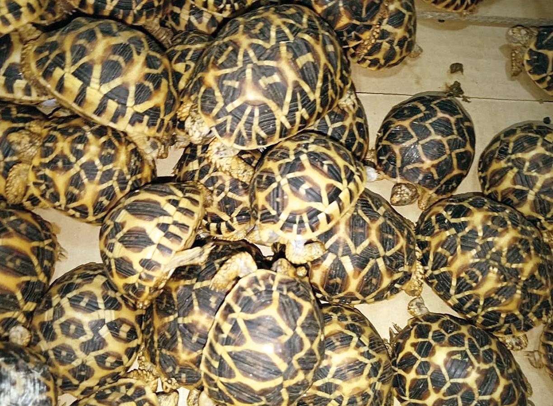 The seized Star Tortoises