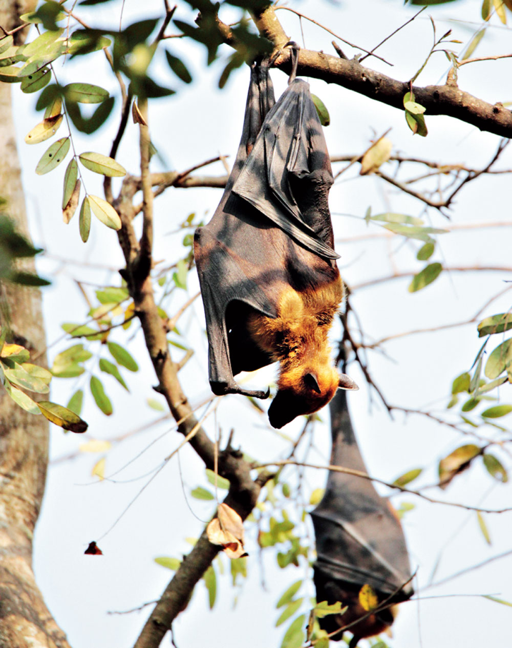 A flying fox admires the world upside down