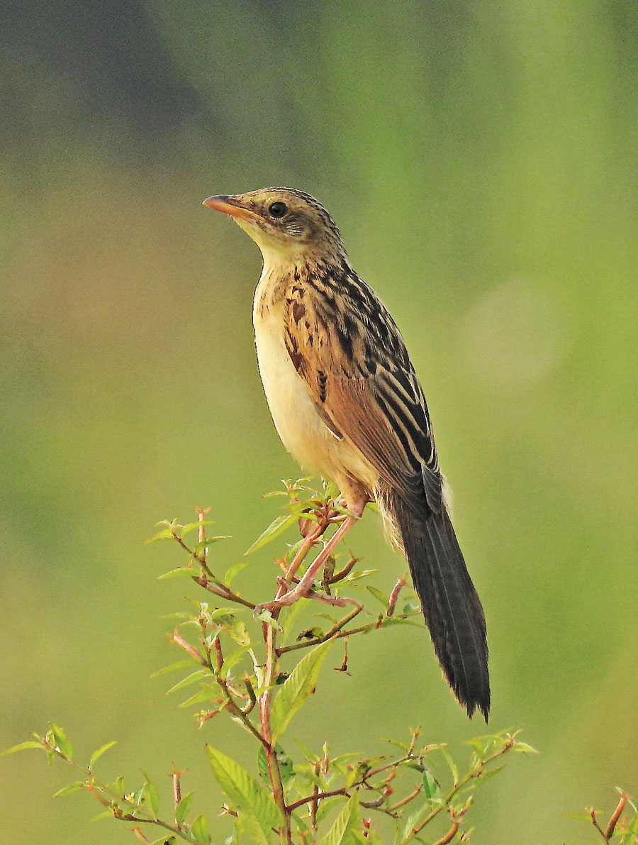 Bristled Grassbird: The number has come down drastically