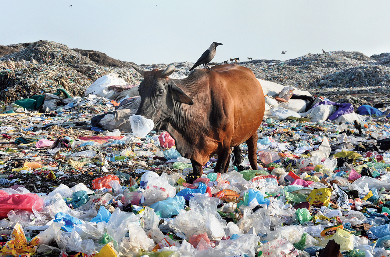 A cow eats plastic at a garbage dump in Amritsar on Tuesday.