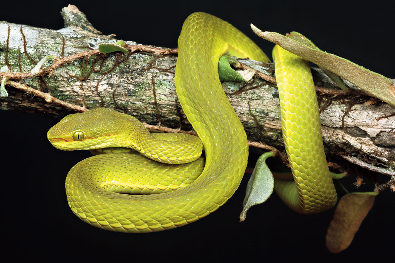 Trimeresurus salazar.