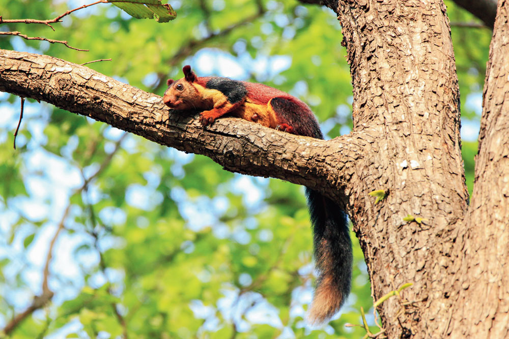 Right in front of the car on a sal tree was not one but two playful Indian giant squirrels