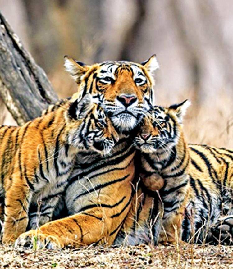 Tiger conservation efforts will count as a success only if the tiger's geographical range is maintained along with increased numbers.