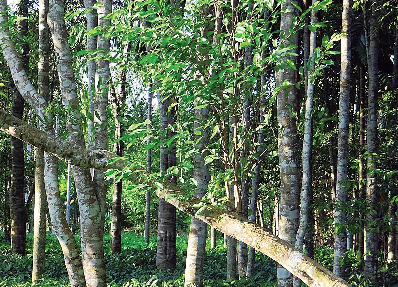 An agar plantation