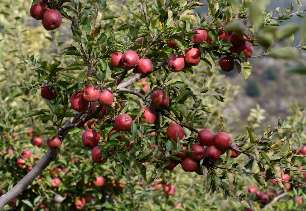 Bahalnagar and adjoining villages send hundreds to Jammu and Kashmir for seasonal employment in apple orchards
