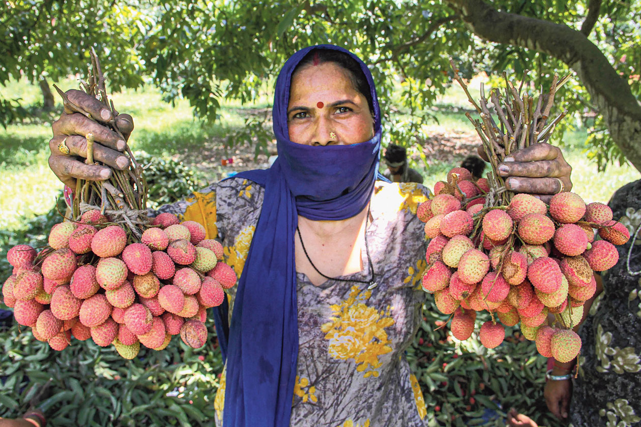 Lychees plucked from an orchard on the outskirts of Jammu.