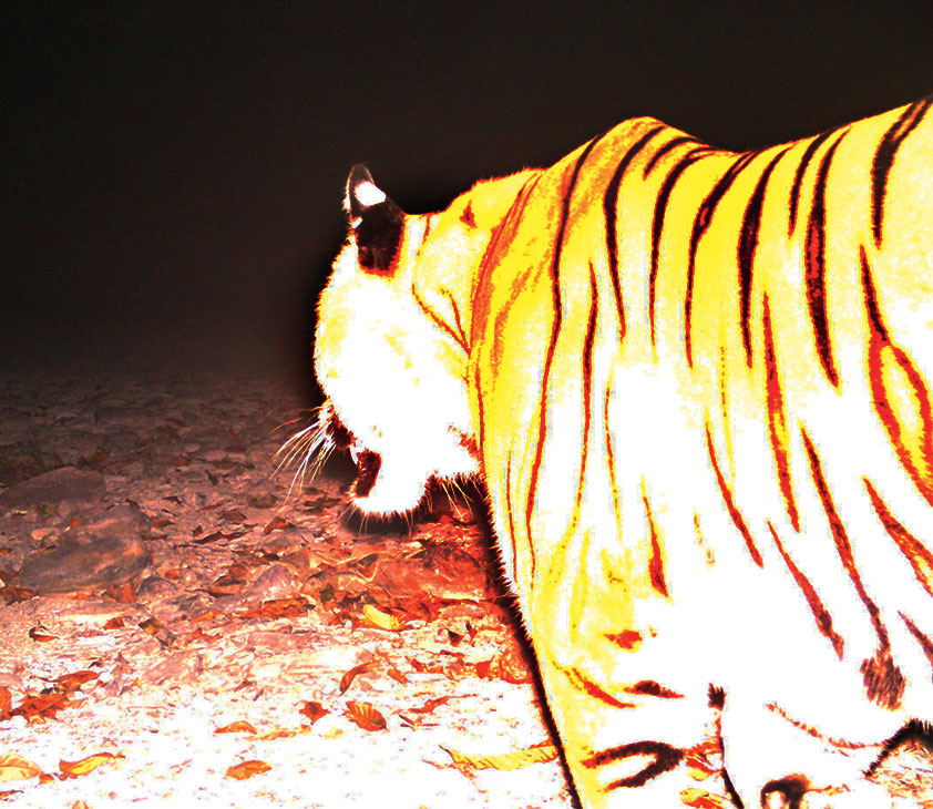 First photograph of a royal Bengal tiger at Ripu reserve forest