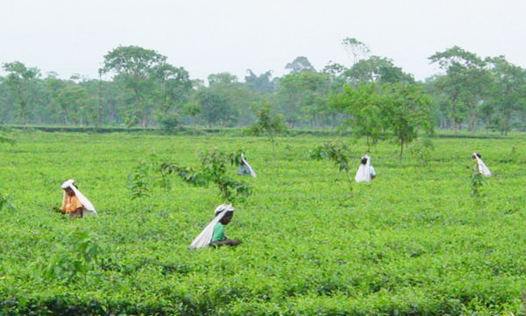 Women workers busy plucking tea leaves at a tea estate in North Bengal.
