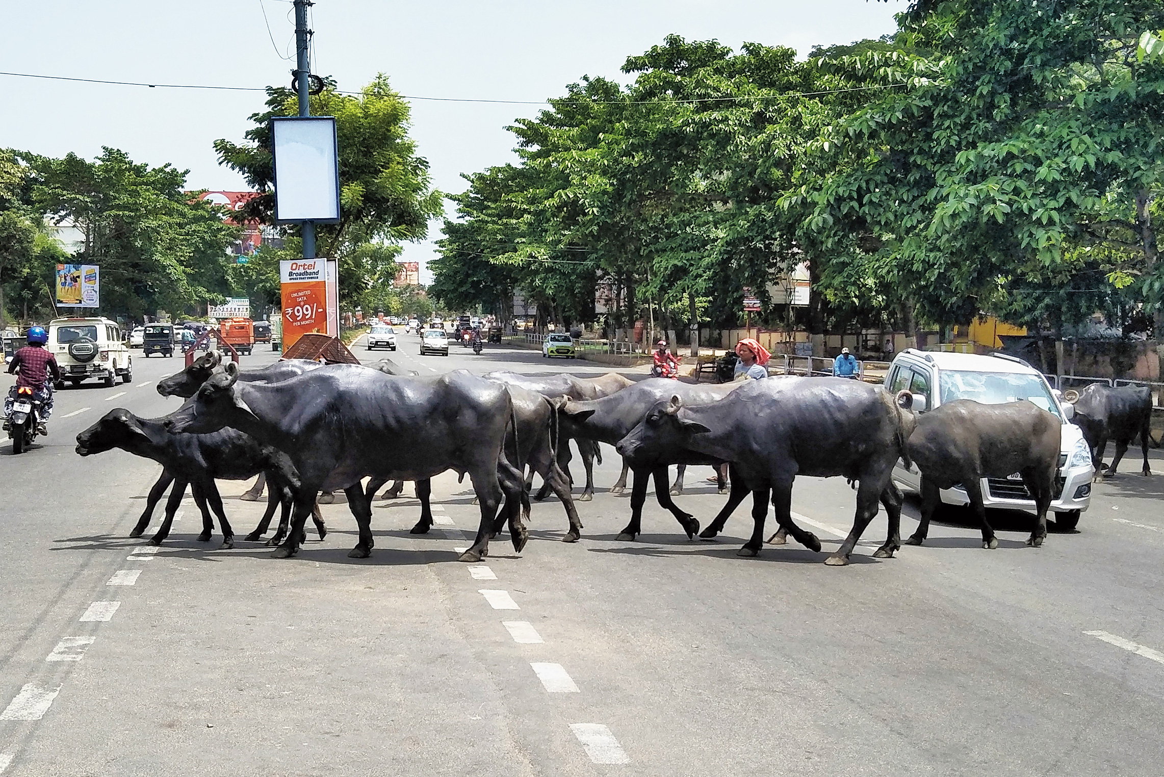 Cattle cross a road in Bhubaneswar on Tuesday.